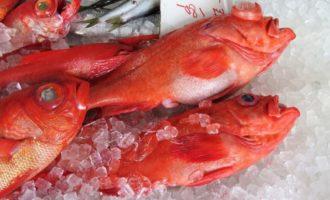морской красный окунь